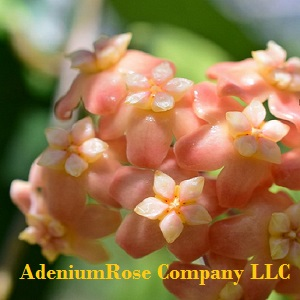 Hoya Plants Growing And Propagation Of Wax Plants Adeniumrose And