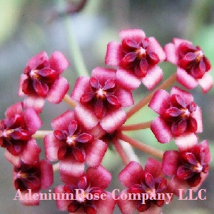 Hoya Plants Archives Adeniumrose And Exoticgrower Company